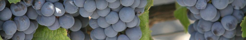 Malbec drue - smagning af enkelte druer