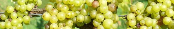 vinskole-gennemgang-af-hvide-druer-restaurant-mellemrum