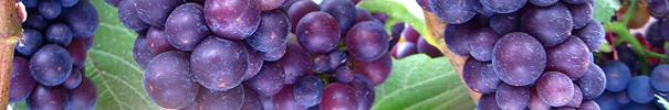 vinskole-smagning -af-enkelt-drue-restaurant-mellemrum