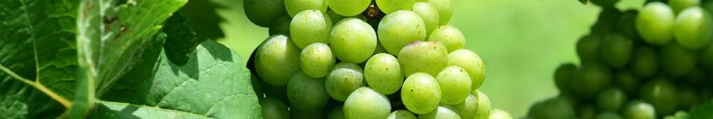 De-vigtigste-grønne-druer-vinskole-restaurant-mellemrum